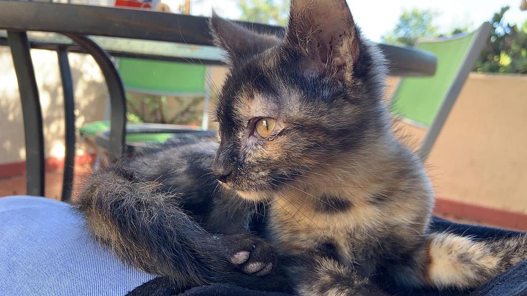 Teka - cat for adoption